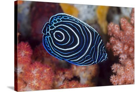 Indonesia, West Papua, Raja Ampat. Close-up of emperor angelfish.-Jaynes Gallery-Stretched Canvas Print