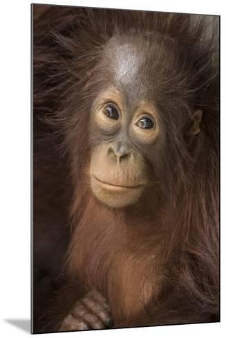 Indonesia, Borneo, Kalimantan. Baby orangutan at Tanjung Puting National Park.-Jaynes Gallery-Mounted Photographic Print