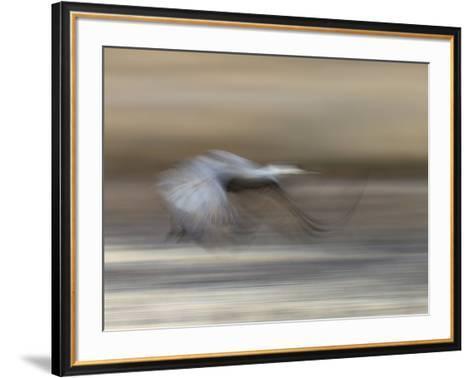 Sandhill Crane in motion Bosque del Apache NWR, New Mexico-Maresa Pryor-Framed Art Print