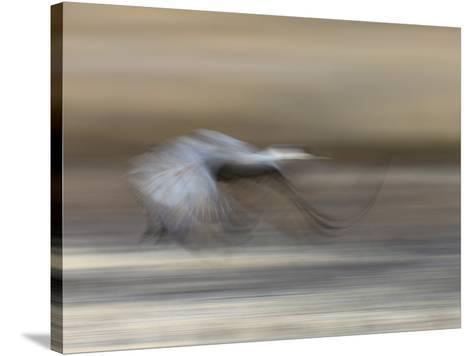 Sandhill Crane in motion Bosque del Apache NWR, New Mexico-Maresa Pryor-Stretched Canvas Print