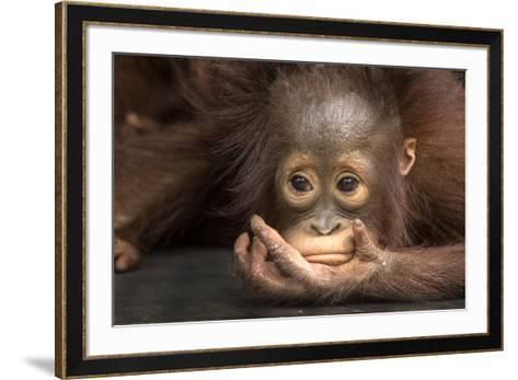 Indonesia, Borneo, Kalimantan. Baby orangutan at Tanjung Puting National Park.-Jaynes Gallery-Framed Art Print