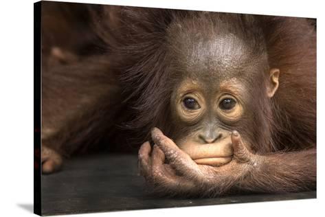 Indonesia, Borneo, Kalimantan. Baby orangutan at Tanjung Puting National Park.-Jaynes Gallery-Stretched Canvas Print