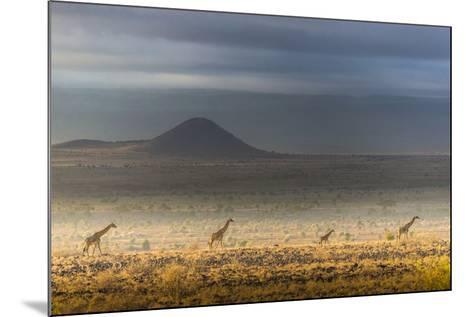 Masai giraffes, Amboseli National Park, Kenya-Art Wolfe-Mounted Photographic Print