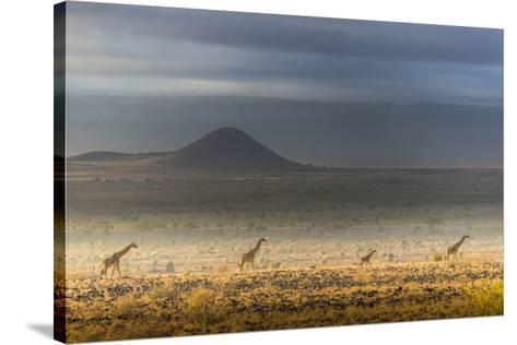 Masai giraffes, Amboseli National Park, Kenya-Art Wolfe-Stretched Canvas Print