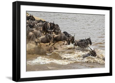 Wildebeest herd crossing Mara River in late summer, Masai Mara, Kenya, Africa-Adam Jones-Framed Art Print