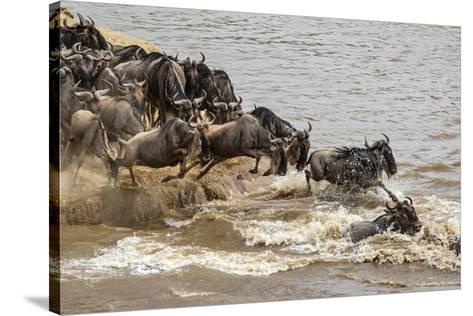 Wildebeest herd crossing Mara River in late summer, Masai Mara, Kenya, Africa-Adam Jones-Stretched Canvas Print