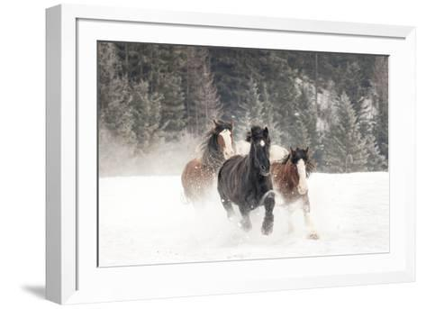 Belgian Horse roundup in winter, Kalispell, Montana.-Adam Jones-Framed Art Print