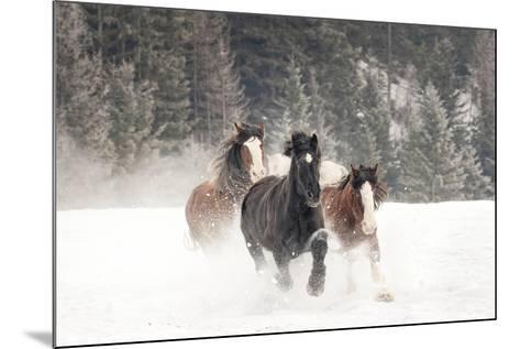 Belgian Horse roundup in winter, Kalispell, Montana.-Adam Jones-Mounted Photographic Print
