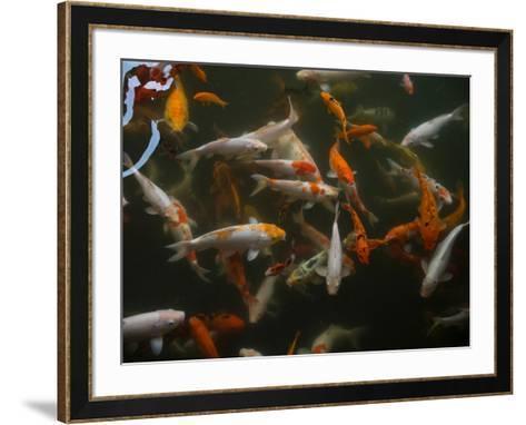 Koi carp in pond at Aureum Palace Hotel, Bagan, Mandalay Region, Myanmar--Framed Art Print