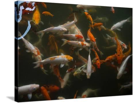 Koi carp in pond at Aureum Palace Hotel, Bagan, Mandalay Region, Myanmar--Stretched Canvas Print