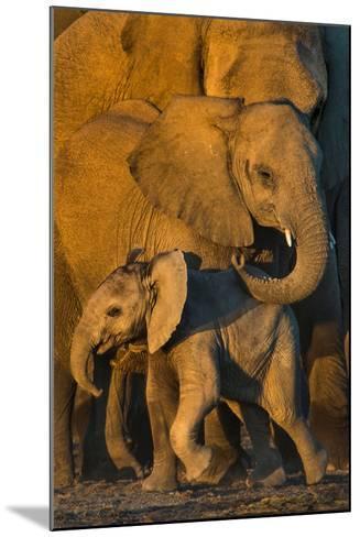 African Elephants (Loxodonta africana) at waterhole, Etosha National Park, Namibia--Mounted Photographic Print