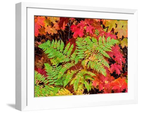 Close-up of autumn leaves, Keweenaw Peninsula, Upper Peninsula, Alger County, Michigan, USA--Framed Art Print