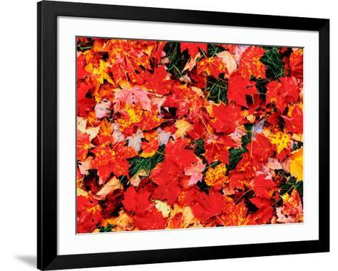 Close-up of maple leaves on grass, Emery Park, Erie County, New York State, USA--Framed Art Print