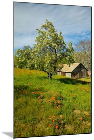 Old barn next to a colorful bouquet of spring flowers and California Poppies near Lake Hughes, CA--Mounted Photographic Print