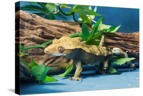 Close-up of Gecko lizard--Stretched Canvas Print
