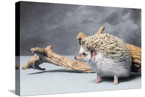 Close-up of African pygmy hedgehog--Stretched Canvas Print