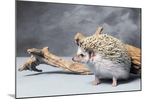 Close-up of African pygmy hedgehog--Mounted Photographic Print