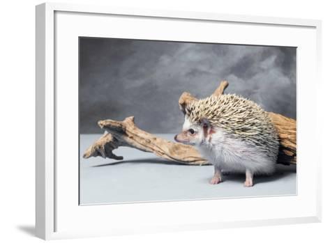 Close-up of African pygmy hedgehog--Framed Art Print