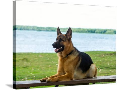 German shepherd dog sitting by river--Stretched Canvas Print