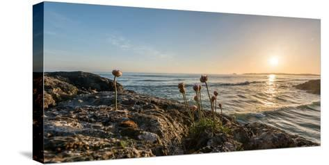 Sea pink (Armeria maritima) wildflowers on Long Beach, Pacific Rim National Park Reserve, Vancou...--Stretched Canvas Print