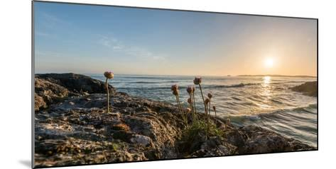 Sea pink (Armeria maritima) wildflowers on Long Beach, Pacific Rim National Park Reserve, Vancou...--Mounted Photographic Print