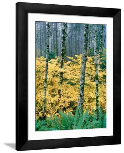 Alders and Vine Maples, Clatsop County, North Coastal Range, Oregon, USA--Framed Art Print