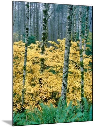 Alders and Vine Maples, Clatsop County, North Coastal Range, Oregon, USA--Mounted Photographic Print