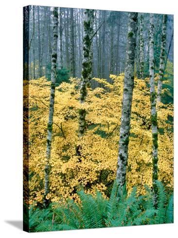 Alders and Vine Maples, Clatsop County, North Coastal Range, Oregon, USA--Stretched Canvas Print