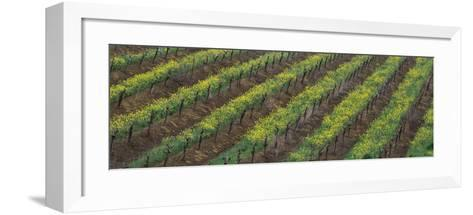 Oilseed rape with grape vines in a vineyard--Framed Art Print