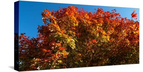 Trees in autumn, Bath, Sagadahoc County, Maine, USA--Stretched Canvas Print