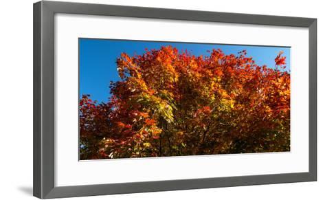 Trees in autumn, Bath, Sagadahoc County, Maine, USA--Framed Art Print