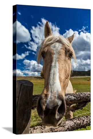 OCTOBER 1, 2016 - Close up horse snoot, near Ridgway, Colorado - just off Log Hill--Stretched Canvas Print