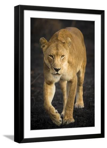 Africa. Tanzania. African lioness Serengeti National Park.-Ralph H^ Bendjebar-Framed Art Print