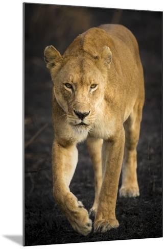 Africa. Tanzania. African lioness Serengeti National Park.-Ralph H^ Bendjebar-Mounted Photographic Print
