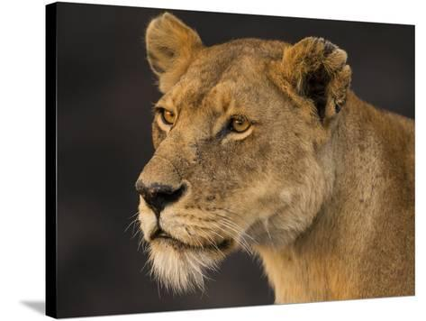 Africa. Tanzania. African lioness Serengeti National Park.-Ralph H^ Bendjebar-Stretched Canvas Print