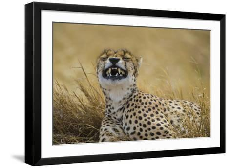 Tanzania, Africa. Cheetah yawning after hunt on the plains of the Serengeti National Park-Ralph H^ Bendjebar-Framed Art Print