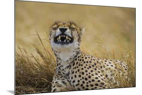Tanzania, Africa. Cheetah yawning after hunt on the plains of the Serengeti National Park-Ralph H^ Bendjebar-Mounted Photographic Print