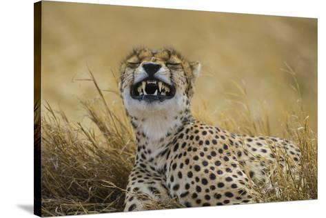 Tanzania, Africa. Cheetah yawning after hunt on the plains of the Serengeti National Park-Ralph H^ Bendjebar-Stretched Canvas Print