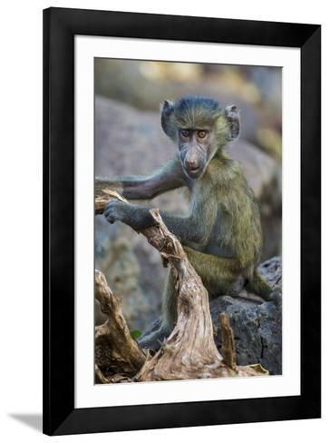 Africa. Tanzania. Yellow baboon, Papio cynocephalus, juvenile at Serengeti National Park.-Ralph H^ Bendjebar-Framed Art Print