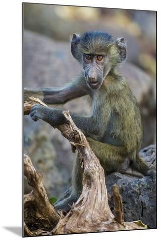 Africa. Tanzania. Yellow baboon, Papio cynocephalus, juvenile at Serengeti National Park.-Ralph H^ Bendjebar-Mounted Photographic Print