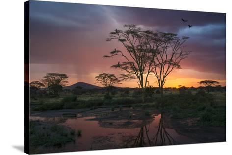Africa. Tanzania. Sunset lights up a flock of Marabou storks in a marsh, Serengeti National Park.-Ralph H^ Bendjebar-Stretched Canvas Print