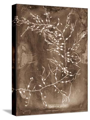 Natural Forms Sepia 2-THE Studio-Stretched Canvas Print