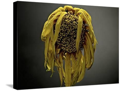 Studio Flowers VII-James McLoughlin-Stretched Canvas Print