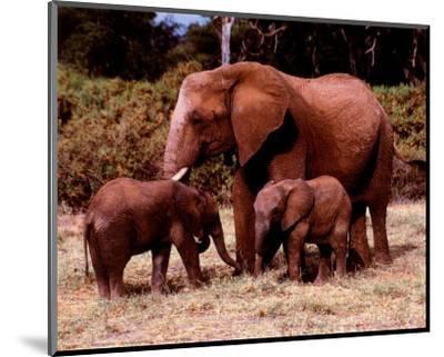 Elephants--Mounted Art Print