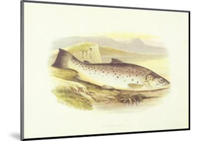 Great Lake Trout--Mounted Art Print