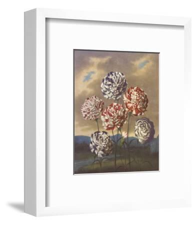 Group of Carnations-Dr^ Robert J^ Thornton-Framed Art Print
