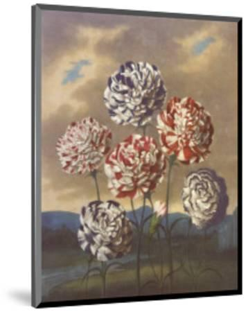 Group of Carnations-Dr^ Robert J^ Thornton-Mounted Art Print