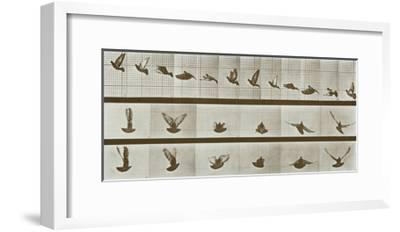 Bird-Eadweard Muybridge-Framed Art Print