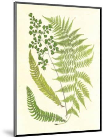Ferns with Platemark III--Mounted Art Print