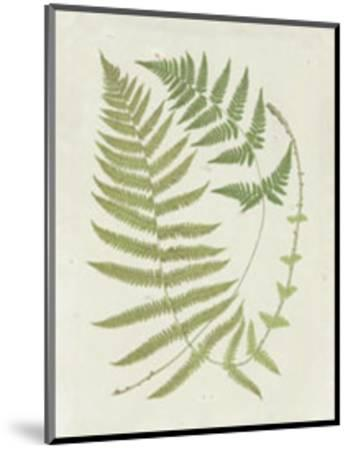 Ferns with Platemark V--Mounted Art Print